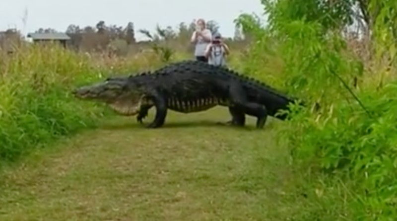 Massive Alligator Stuns Photographers, Proves Just How Wild Florida Is