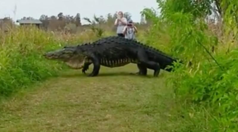Massive Alligator Stuns Photographers, Proves Just How Wild Florida Is
